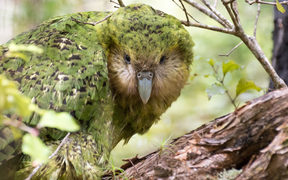 Kākāpō are currently found on three islands. Whenua Hou / Codfish Island, near Stewart island. Pukenui / Anchor Island in Fiordland. And Hauturu / Little Barrier Island in the Hauraki Gulf.