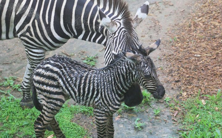The foal is the first to be born in eight years at Auckland Zoo.