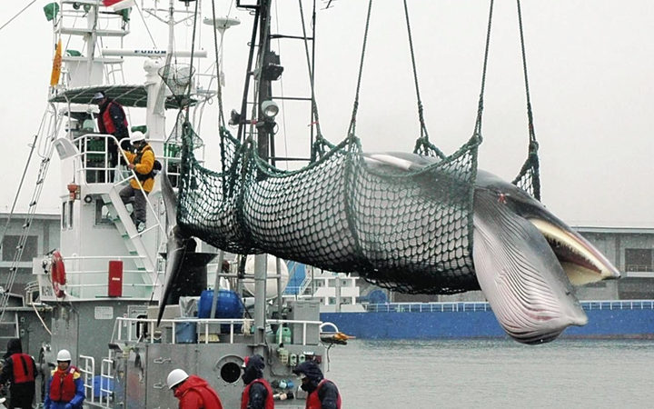 Japan to Announce Withdrawal from International Whaling Commission on Wednesday