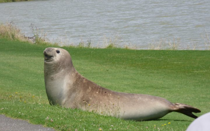 sunning seal spotted in whakatane rnz news