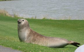 A seal was spotted below the Landing Road Bridge in Whakatane.
