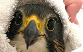 An injured New Zealand falcon / kārearea at Dunedin's Wildlife Hospital