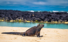 Galapagos Islands - August 23, 2017: Marine Iguanas in Tortuga Bay in Santa Cruz Island, Galapagos Islands, Ecuador