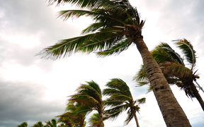 Palm trees in strong winds