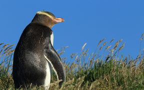 Yellow-eyed penguin in New Zealand,