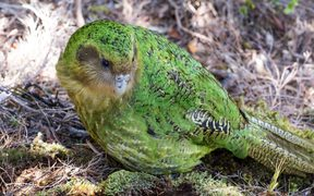 Sinbad is one of three kakapo with Fiordland genes, from their father Richard Henry.