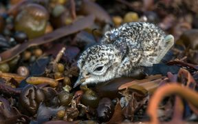 A banded dotterel chick is up and running just a few hours after it hatches.