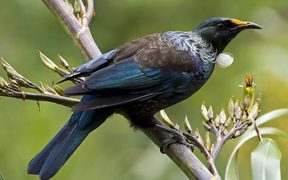 Tui on flax bush