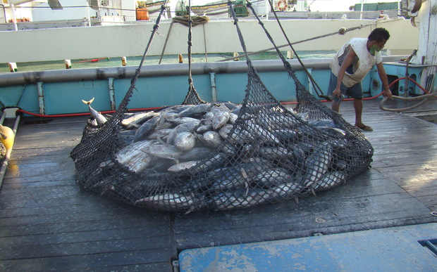 The American purse seiner Raffaello off-loads tuna in Port Majuro