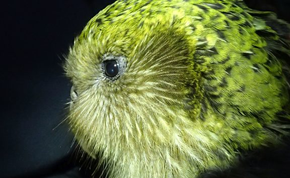 Boss is one of the original Stewart Island kākāpō, and a successful breeder with a proven track record.