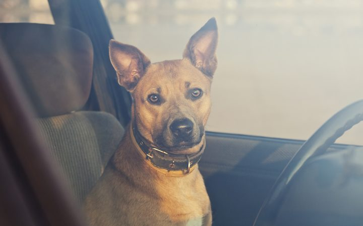 Warning from SPCA as dogs overheat in cars | RNZ News