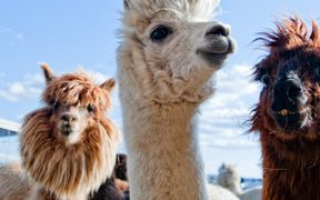 17284842 - three funny alpacas in different colors