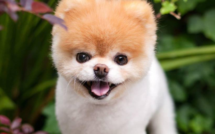 Boo had 16 million followers on Facebook, made TV appearances, and even released a book called Boo - the life of the world's cutest dog.