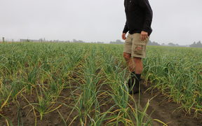 Stu Wright standing in a garlic crop on his Canterbury farm
