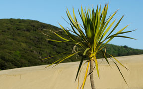 Plant in Te Paki sand dunes in Northland New Zealand.