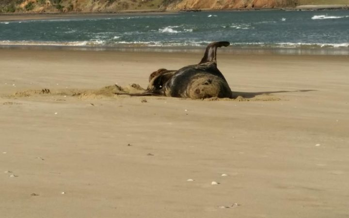 This photo of a sealion on a Southland beach was found on a USB stick swallowed by a leopard seal.