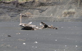 Dotterals at Piha Beach, Auckland.