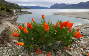 Californian poppies at Lake Hawea dam