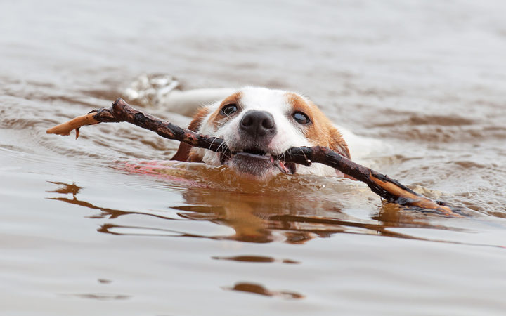 Jack Russell Terrier dog is swimming with a big stick in the mouth.