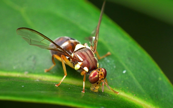 Fourth Queensland fruit fly found in Auckland