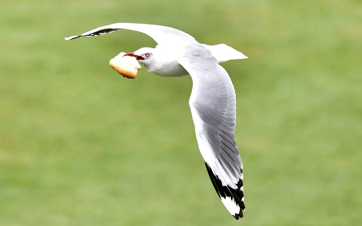 A seagull flies with a piece of bread during day three of the first International Test cricket match between New Zealand and Sri Lanka at University Oval in Dunedin.