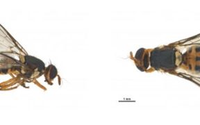 Bactrocera facialis fruit fly found in Otara Auckland