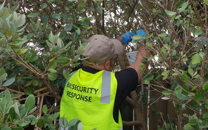 Biosecurity team set up fruit fly traps in in the South Auckland suburb of Ōtara after one was found.