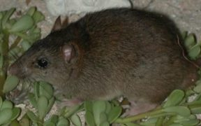 The Bramble Cay Melomys has been confirmed as the first mammalian species to become extinct due to human-induced climate change.