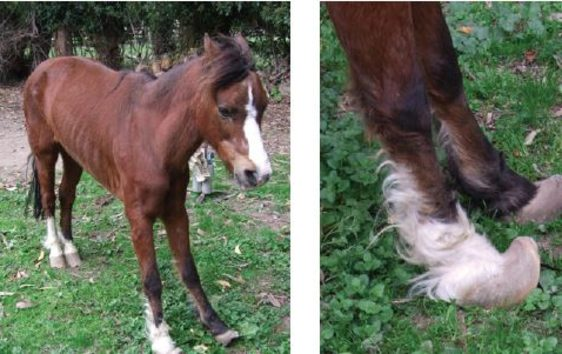 Pony Cashew was found rocking left to right on his limbs due to an untreated condition.