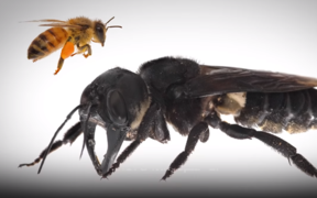 Wallace's giant bee is the world's largest bee.