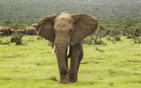 large african elephant walking towards the camera in an aggressive manner