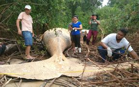 In a post on social media, the Bicho D'agua Institute shows a dead humpback whale in the Amazon jungle.