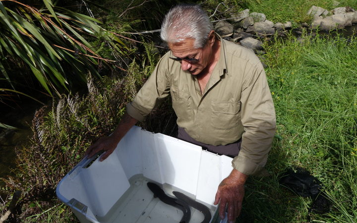 Millan Ruka and his helpers have been lugging fyke nets, poles, and unwieldy measuring troughs up and down the Wairua and Northern Wairoa rivers.