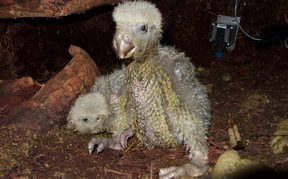 Two kākāpō chicks that are nearly a month old, thriving in a nest on Anchor Island in Fiordland.