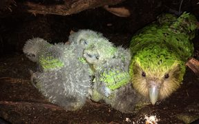Kākāpō foster mum, Hauturu, with three rapidly growing chicks in a nest on Anchor Island in Fiordland. She was happy to chew on a couple of almonds offered to her by a kākāpō ranger.