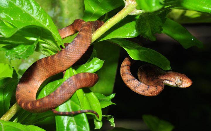 Brown tree snake in Guam
