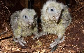 Most kākāpō chicks are now in wild nests, putting on lots of weight as their foster mums feed them lots of rimu fruit.