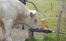 Cattle using the new grazing pump to drink.