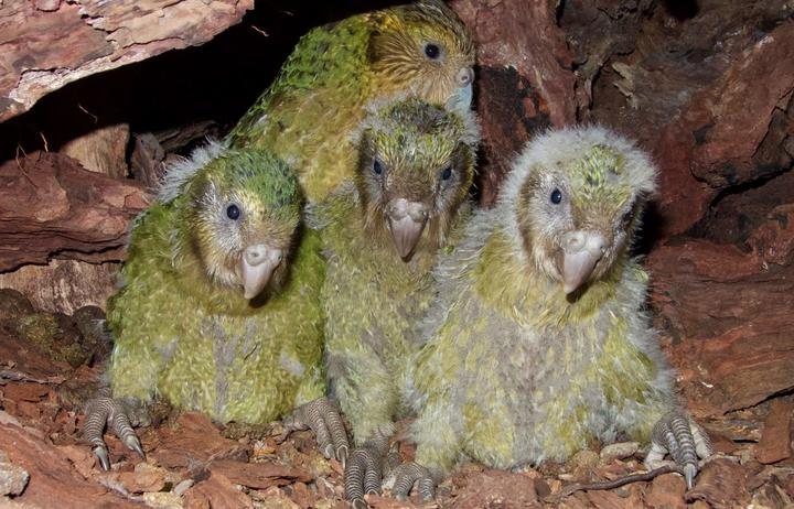 Female kākāpō Queenie with chicks Boomer-3-A-19, Alice-2-A-19 and Tumeke-2-A-19.