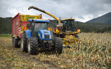 Workers harvest a crop of maize for silage on a dairy farm in Westland.