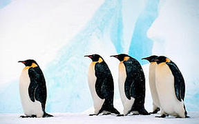 The Emperor penguin, the largest penguin in the world, is endemic to Antarctica.