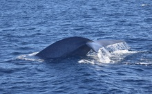 Pygmy blue whale spotted off the coast of Cape Farewell.