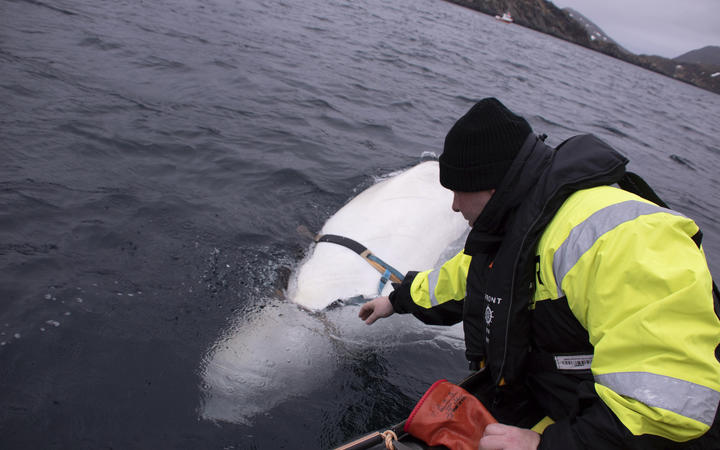 Joergen Ree Wiig tries to reach the harness attached to the beluga whale.