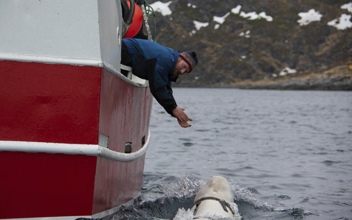 Norwegian fisherman Joar Hesten tries to attract the beluga whale swimming next to his boat.