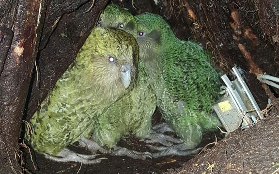 Kākāpō mum Yasmine with her two newly fledged foster chicks, in her nest on Anchor Island.