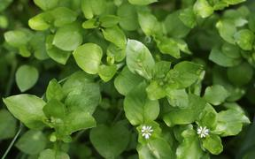 Chickweed, an edible wild plant