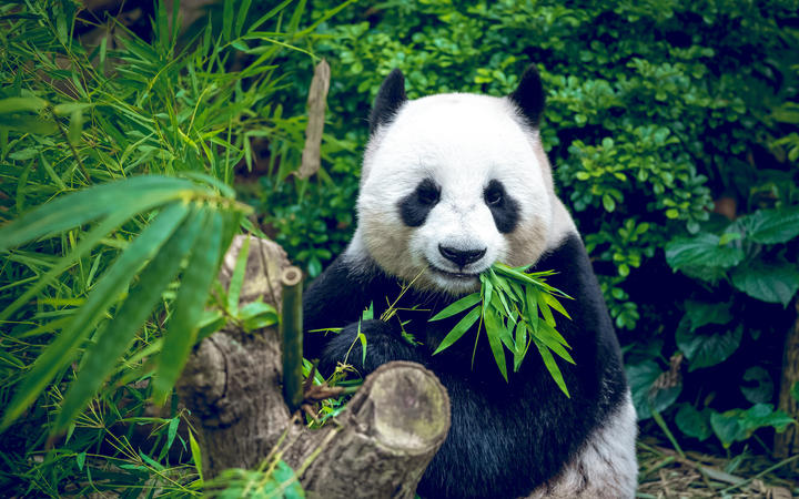 Me? A carnivore? A study has found the protein and carbohydrate content of a panda's diet looks surprisingly like that of a hypercarnivore.