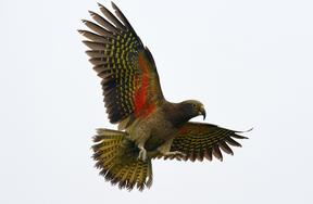 Kea (Nestor notabilis) in flight, showing its distinctive orange underwings.