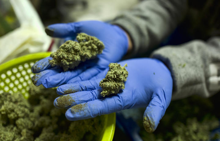 A cannabis worker displays fresh cannabis flower buds that have been trimmed for market in Gardena, California.