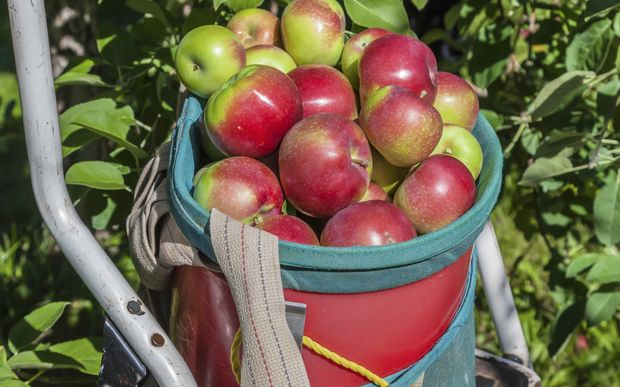 A commercial apple picking basket with ladder in orchard.